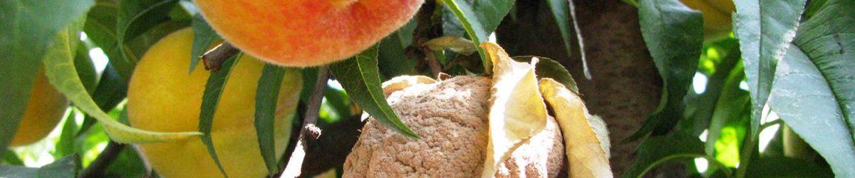 Tecnología – Biocontrolador de Hongo Monilinia Fructicola