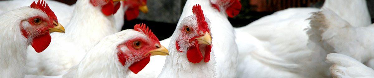 Nanocompósito Natural y Antimicrobiano para la Industria Avícola