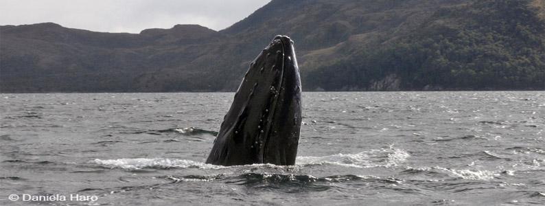 Ecología trófica de cetáceos en el Estrecho de Magallanes